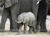 Young African Elephant  Loxodonta Africana  with Adult Group  Etosha National Park  Namibia  Africa