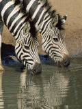 Two Burchell's Zebra  Equus Burchelli  Drinking  Mkhuze Game Reserve  South Africa