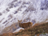 Red Deer Stag in the Highlands in February  Highland Region  Scotland  UK  Europe