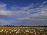 Snow Geese in Winter  Bosque Del Apache  New Mexico  USA