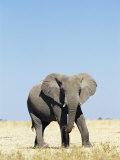 Bull African Elephants  Loxodonta Africana  Etosha National Park  Namibia  Africa