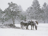 Horses in a Snowstorm  Colorado  United States of America  North America