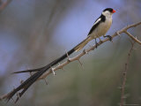 Pin-Tailed Whydah (Vidua Macroura)  Male in Breeding Plumage  South Africa  Africa