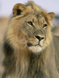 Lion  Panthera Leo  Kalahari Gemsbok National Park  South Africa  Africa