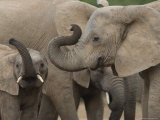 African Elephant (Loxodonta Africana)  Addo Elephant National Park  South Africa  Africa