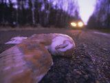 Road Casualty  Dead Barn Owl on Road in Winter  Scotland  UK  Europe