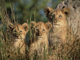 Lion Cubs  Panthera Leo  Kruger National Park  South Africa  Africa