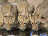Lions Drinking  Panthera Leo  Kgalagadi Transfrontier Park  South Africa  Africa