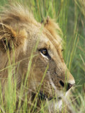Male Lion  Panthera Leo  in the Grass  Kruger National Park  South Africa  Africa