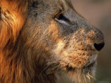 Close-up of a Lion (Panthera Leo)  Mala Mala Game Reserve  Sabi Sand Park  South Africa  Africa