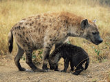 Spotted Hyena  Crocuta Crocuta  Cub Greeting Adult  Kruger National Park  South Africa  Africa