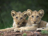 Lion Cubs  Panthera Leo  in Kruger National Park Mpumalanga  South Africa