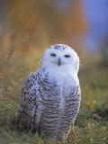 Snowy Owl  Alaska  USA