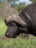 Cape Buffalo (Syncerus Caffer)  with Redbilled Oxpecker  Kruger National Park  South Africa  Africa