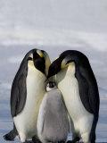Emperor Penguin (Aptenodytes Forsteri)  Snow Hill Island  Weddell Sea  Antarctica  Polar Regions
