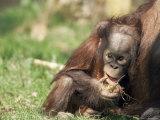 Young Orang-Utan (Pongo Pygmaeus)  in Captivity  Apenheul Zoo  Netherlands (Holland)  Europe
