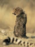 Cheetah Cub (Acinonyx Jubatus)  Erongo Region  Namibia  Africa