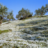 Olives Groves and Wild Flowers  Greece  Europe