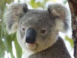 Koala  (Phascolartos Cinereus)  Magnetic Island  Queensland  Australia