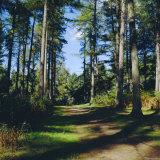 Woodland Walk  Sherwood Forest  Edwinstowe  Nottinghamshire  England