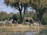 Elephant and Zebras at the Khwai River  Moremi Wildlife Reserve  Botswana  Africa