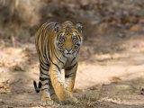 Bengal Tiger (Panthera Tigris Tigris)  Bandhavgarh  Madhya Pradesh  India