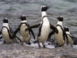 Jackass Pinguin  (Spheniscus Demersus)  Boulder's Beach  Capetown  South Africa