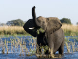 African Elephant  (Loxodonta Africana)  Chobe River  Chobe NP  Botswana