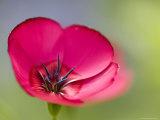 Scarlet Flax  (Linum Grandiflorum Rubrum)  Bielefeld  Nordrhein Westfalen  Germany