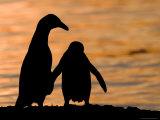 Jackass Pinguin  (Spheniscus Demersus)  Boulder's Beach  Capetown  South Africa