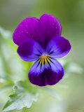 Wild Pansy  Viola Tricolor  Bielefeld  Germany