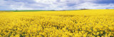 Fields of Oil Seed Rape  Near Seahouses  Northumberland  England  United Kingdom  Europe