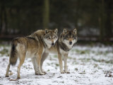Gray Wolf (Grey Wolf)  Canis Lupus  Wildlife Preserve  Rheinhardswald  Germany  Europe