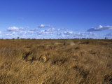 Lion  (Panthera Leo)  Savuti  Chobe National Park  Botswana