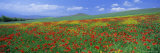 Panoramic View of Field of Poppies and Wild Flowers Near Montchiello  Tuscany  Italy  Europe