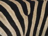 Plains Zebra  Burchell's Zebra  Equus Burchellii  Khwai River  Botswana  Africa