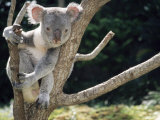 Koala Bear in a Tree in Captivity  Australia  Pacific