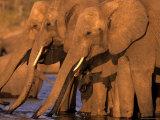 African Elephant  (Loxodonta Africana)  Chobe River  Chobe National Park  Botswana