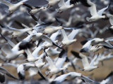 Snow Goose  Anser Caerulescens  Bosque Del Apache  Soccoro  New Mexico  USA