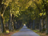 Tree Avenue in Fall  Senne  Nordrhein Westfalen (North Rhine Westphalia)  Germany  Europe