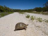 Geometric Tortoise (Psammobates Geometricus)  West Coast  South Africa  Africa