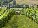 Vineyards in Countryside Near Saint Jean Pied De Port  Basque Country  Aquitaine  France