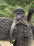 Young Chacma Baboon  Riding on Adult's Back  Kruger National Park  Mpumalanga  South Africa
