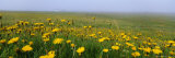 Panoramic View  Corn Marigolds  Fair Isle  Shetland Islands  Scotland  UK  Europe
