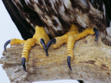 Close up of the Feet and Talons of a Bald Eagle  Alaska  USA  North America