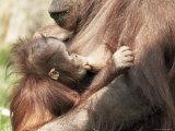 Orang-Utan (Pongo Pygmaeus)  Mother and Young  in Captivity  Apenheul Zoo  Netherlands (Holland)