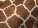 Close-Up of Skin of a Reticulated Giraffe (Giraffa Camelopardalis Reticulata)  in Captivity  Africa