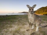Eastern Grey Kangaroo  (Macropus Giganteus)  Pebbly Beach  New South Wales  Australia