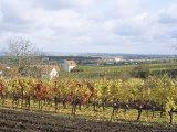 Vines at Vineyard in Autumn  Brnensko  Czech Republic