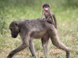 Young Chacma Baboon Riding on Adult's Back in Kruger National Park  Mpumalanga  Africa